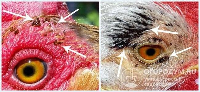 Куриные вши пухоеды