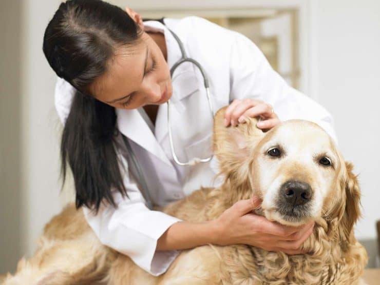 Демодекоз или подкожный клещ у собак: лечение в домашних условиях, симптомы и наглядные фото
