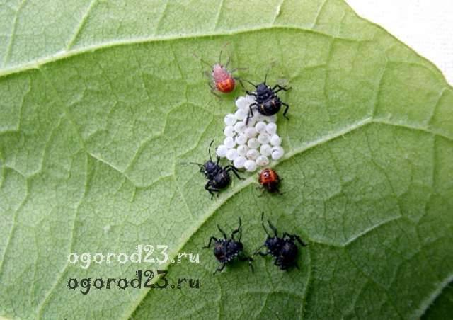 Клопы щитники: описание насекомого, виды, среда обитания и как от них избавиться