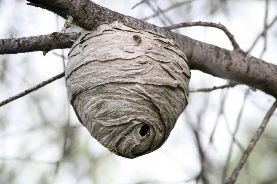 Ситуация: что делать, если обнаружили на даче осиное гнездо?