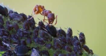 Чем обработать смородину от тли, муравьев и других вредителей