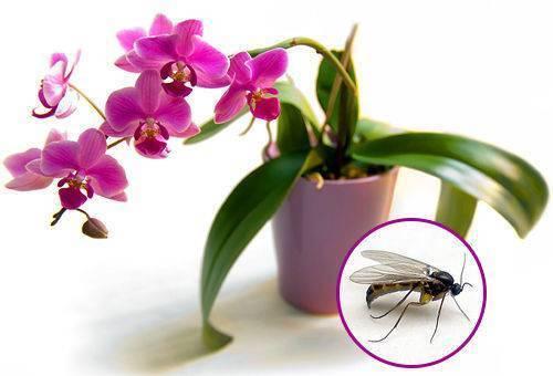 В орхидеях завелись мошки: что делать, как избавиться
