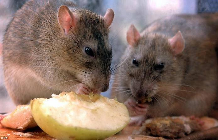 Какой отпугиватель крыс и мышей лучший: рейтинг популярных устройств
