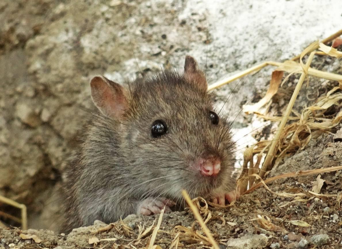 Как избавиться от крыс в курятнике: лучшие способы