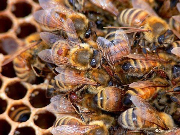 Как и чем обрабатывать пчелиные ульи от клеща?
