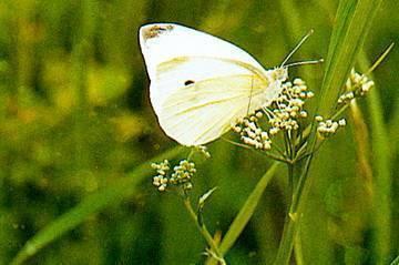 Репная белянка – опасный вредитель крестоцветных