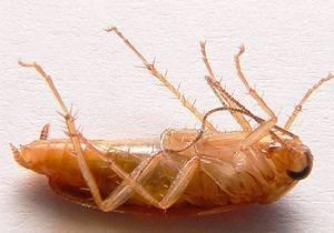 Сколько тараканов может родиться из одного яйца?