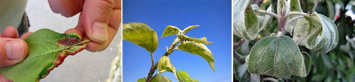 Советы опытных огородников по борьбе с зеленой яблонной тлей и другими ее видами
