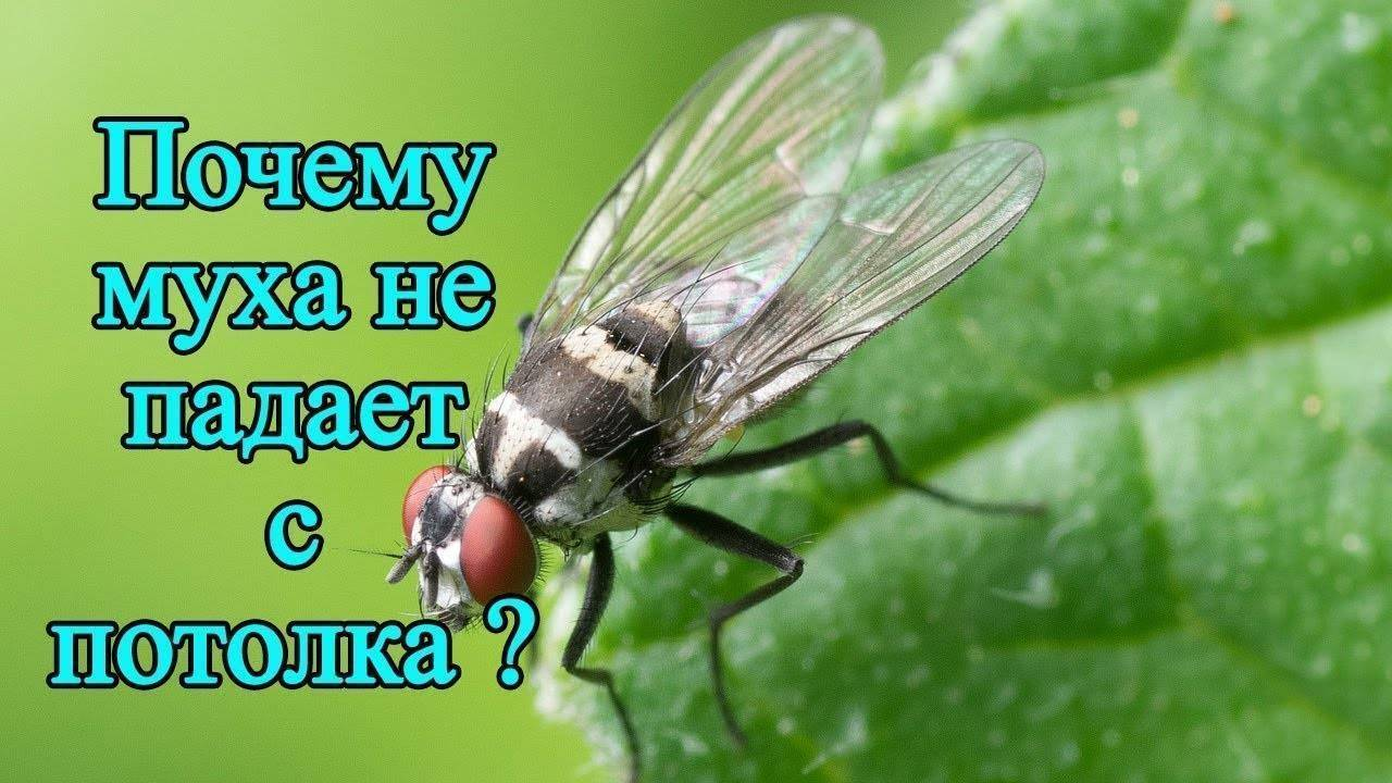 Молния. как муха садится и держится на потолок почему муха не падает с потолка