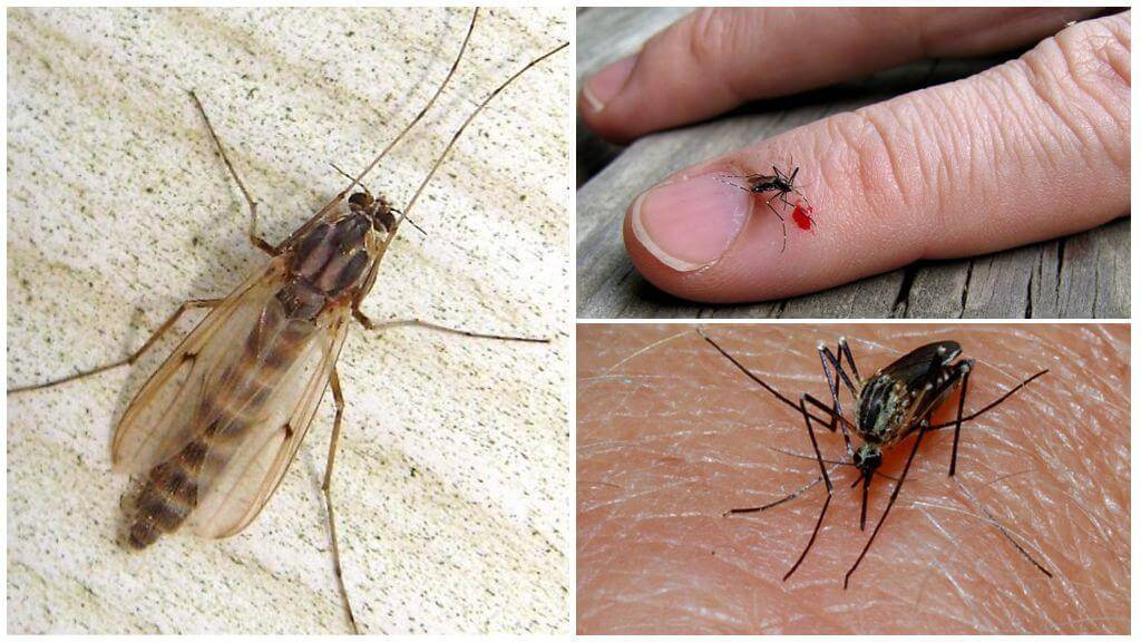 Как питается комар. чем питается комар? обзор предпочтений насекомого в зависимости от пола и стадии развития
