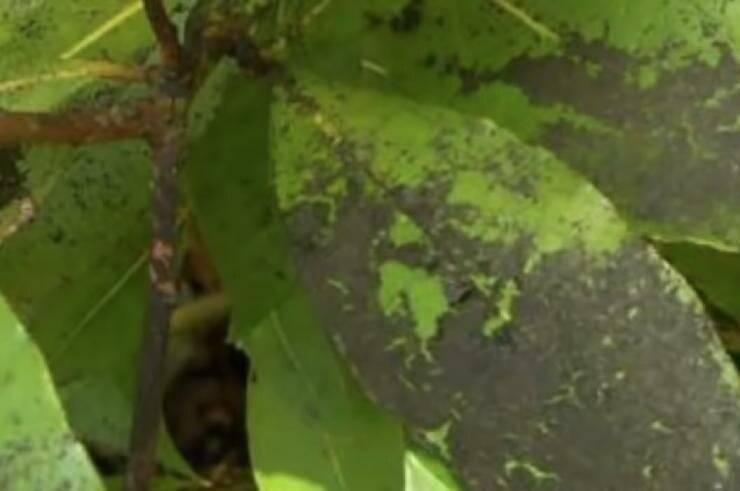 Белокрылка: как избавиться в теплице и на комнатных цветах