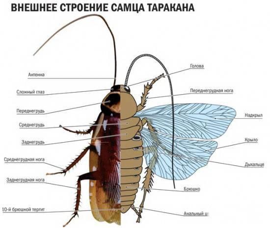 Как размножаются тараканы