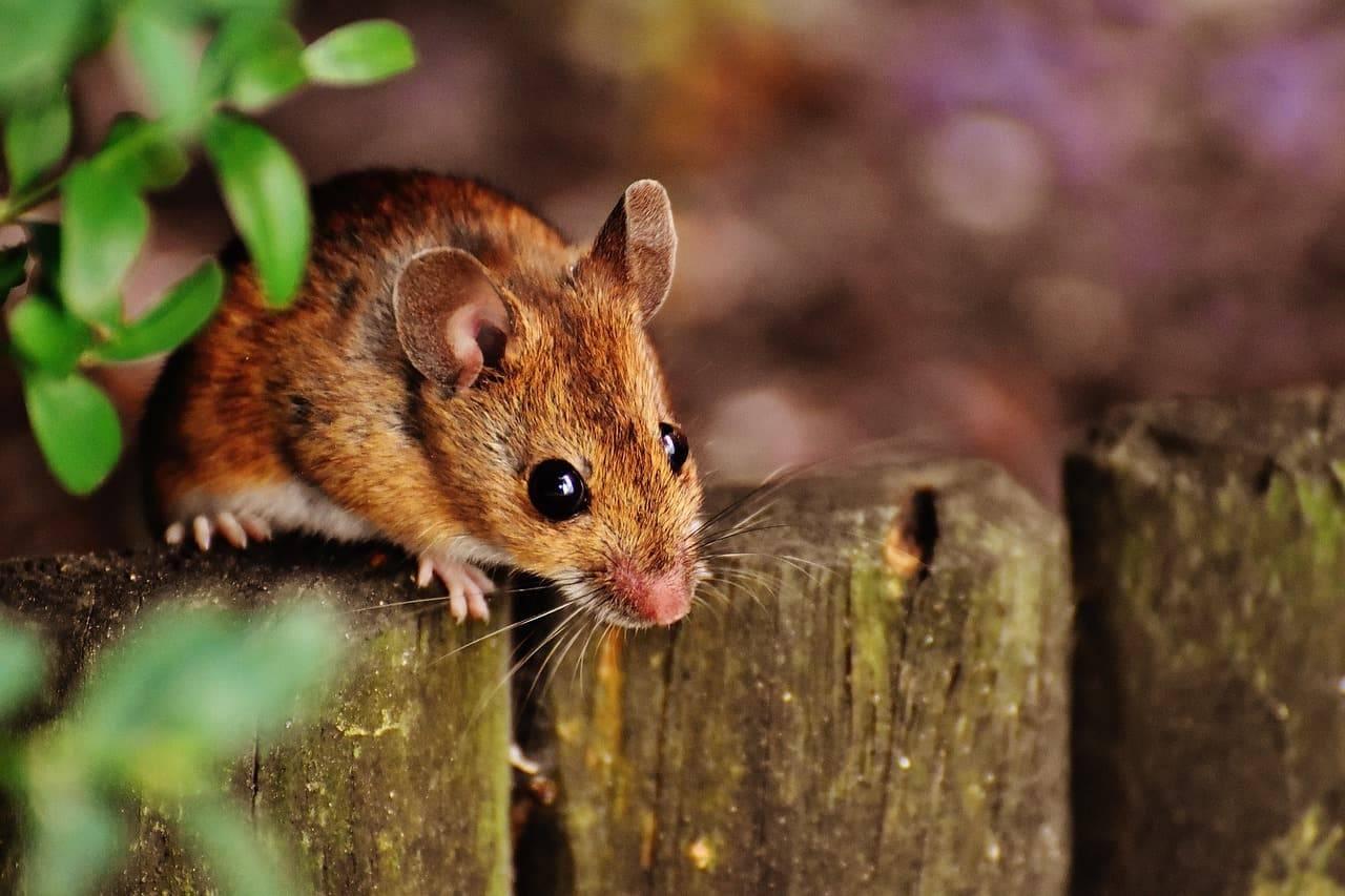 Народные способы травли и отпугивания крыс в частных домах и квартирах