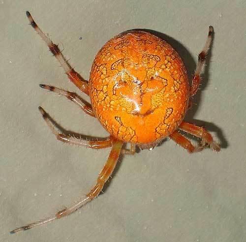 Паук крестовик - строение и особенности поведения. опасное соседство — паук с крестом на спине окраска паука крестовика