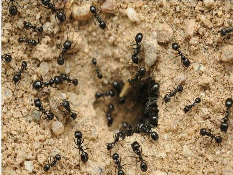 Манка - экологичный и безопасный способ избавиться от муравьев
