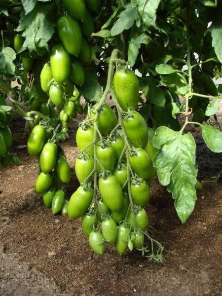 Как избавиться от белокрылка на помидорах в теплице