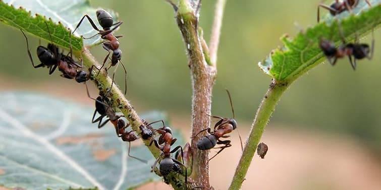 Как избавиться от муравьев на смородине: народные способы и средства как навсегда избавиться от насекомых (95 фото)