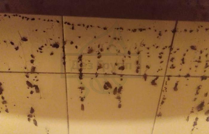 Борная кислота в борьбе с тараканами, или как избавиться от неприятного «соседства»