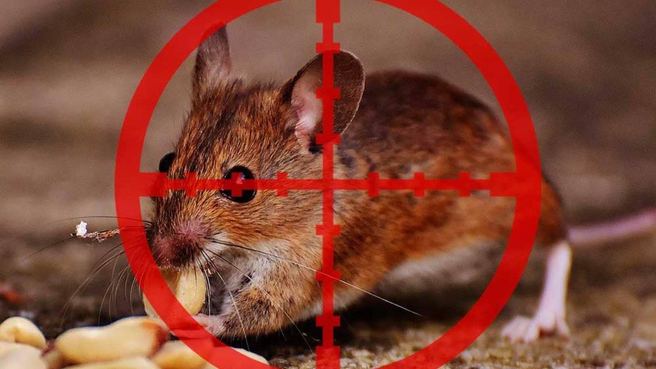 Откуда мыши в квартире и как их вывести