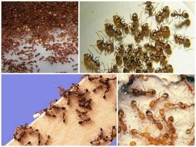 Способы применения средства от муравьев «Делисия»