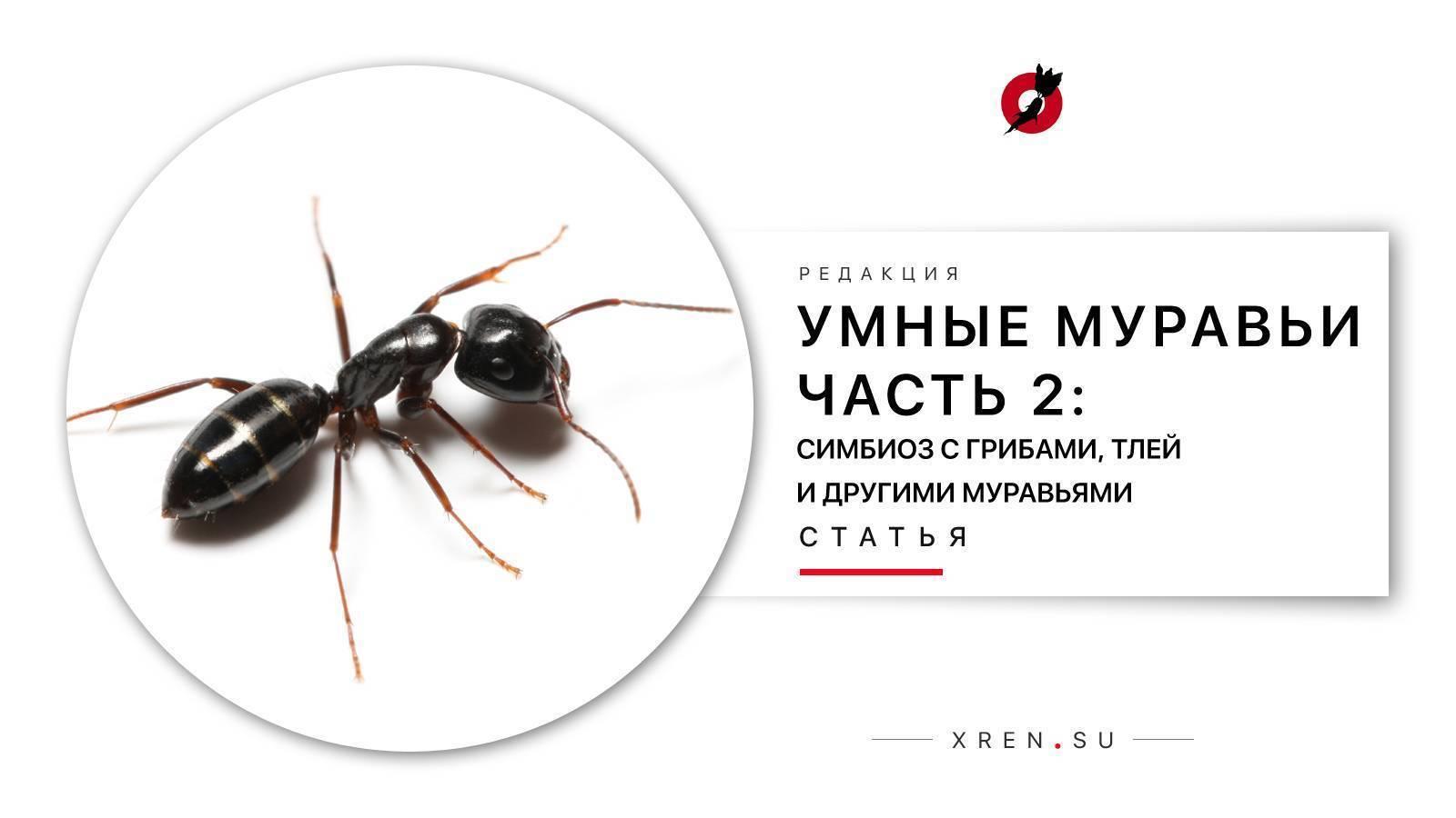 Как бороться с муравьями на малине и жимолости