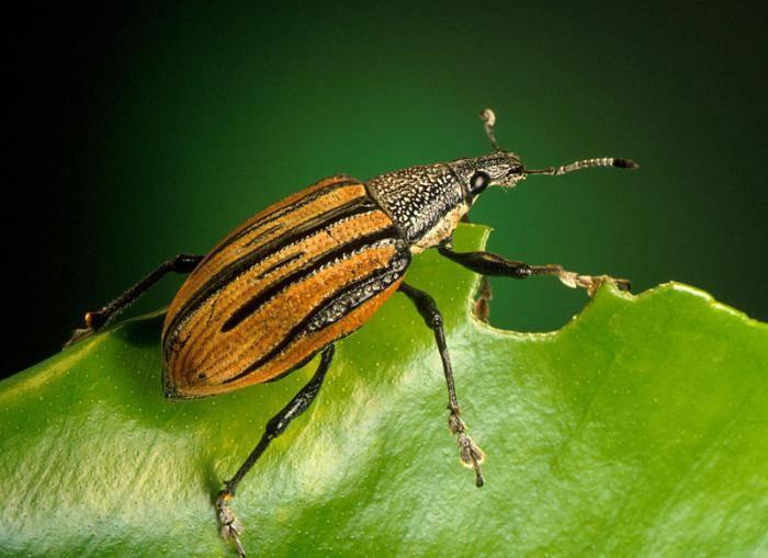 К чему снится найти колорадского жука в волосах?