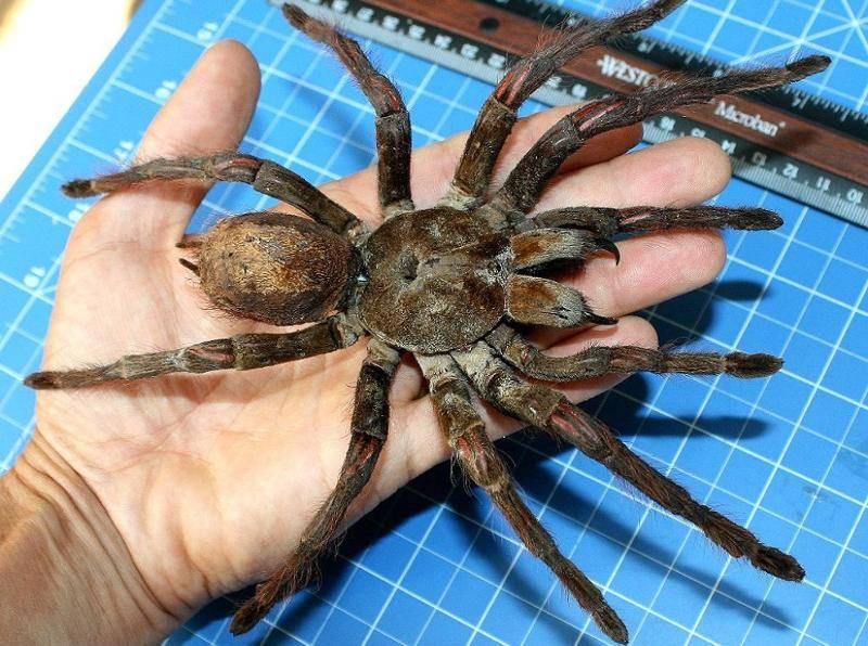 Сколько ног у паукообразных и в чем их особенности