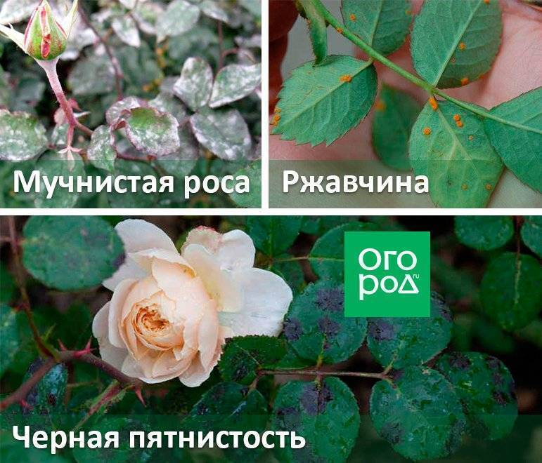 Чем обработать тлю на розах