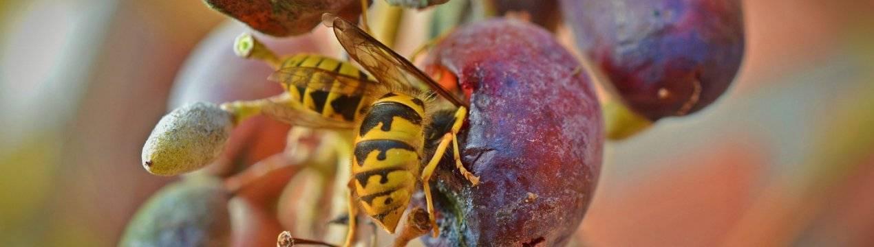 Как защитить виноград от ос и пчел — самые эффективные методы