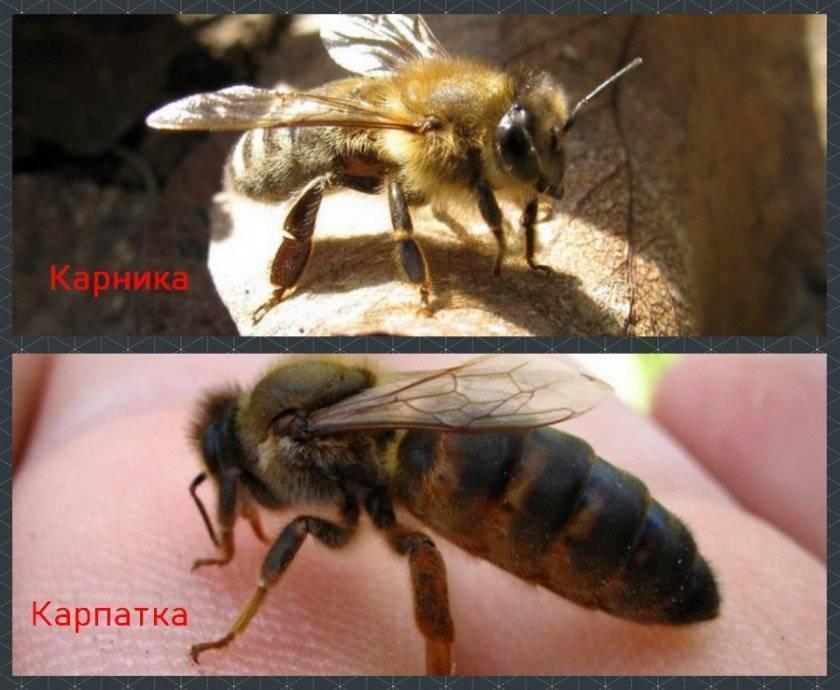 Описание карпатской породы пчел и правила ухода за ней
