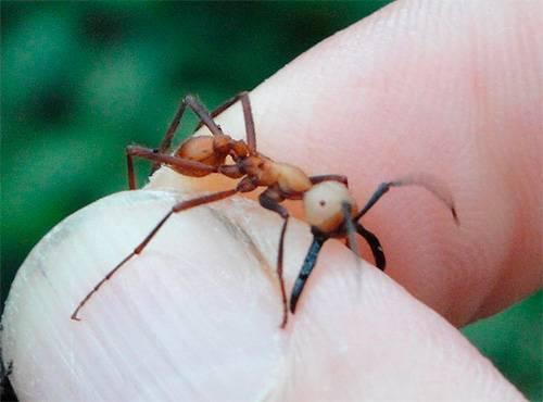 Сколько весит муравей и какой вес он может поднять. предложения со словосочетанием «тяжёлые предметы какой вес может поднять муравей