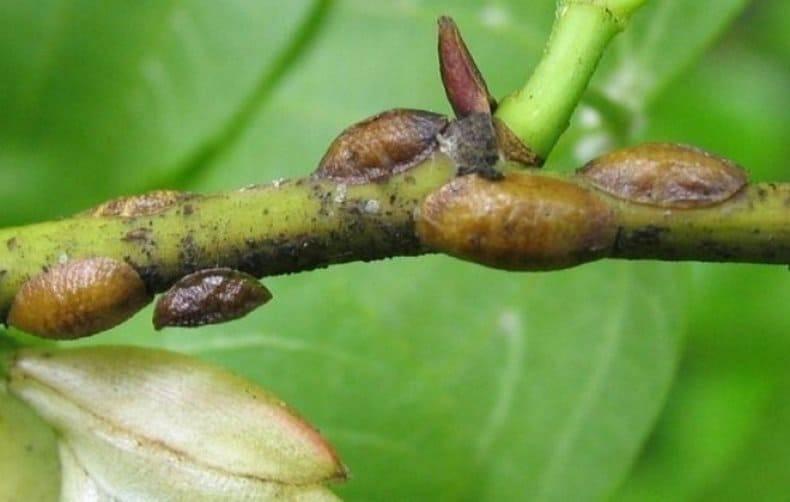Средства борьбы с грушевым галловым клещом