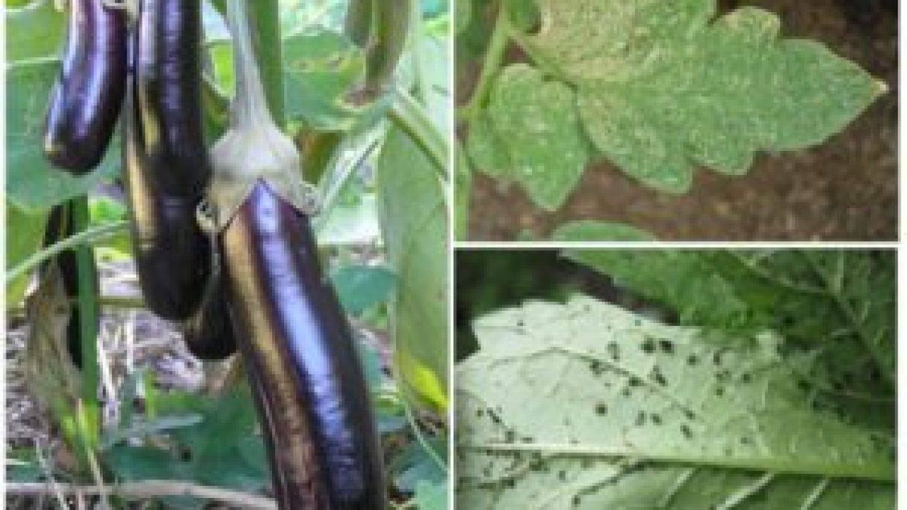 Вредитель паутинный клещ на яблоне: меры борьбы — химические и биологические