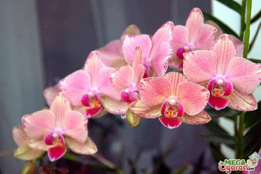 Как бороться с тлей на орхидеях в домашних условиях?
