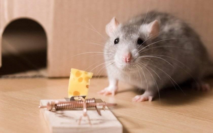 Правда что мыши любят сыр. мыши едят сыр или нет