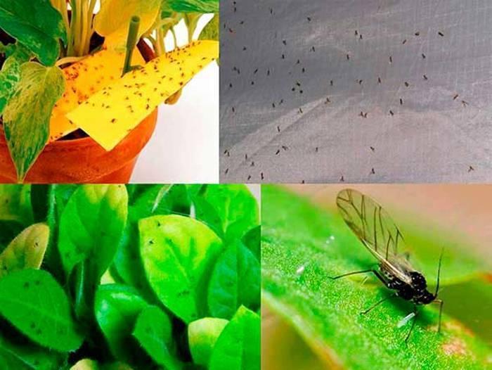 Как избавиться от мошек в рассаде в домашних условиях