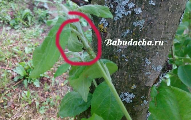 Как бороться с тлей на яблоне: эффективные методы борьбы, чем обработать растение от вредителя