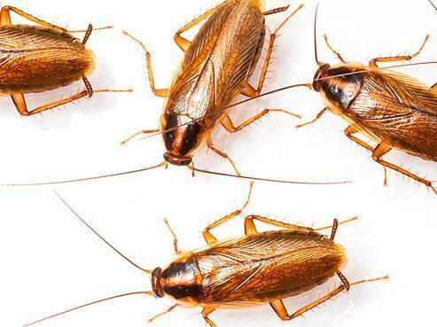 Кто ест тараканов из животных