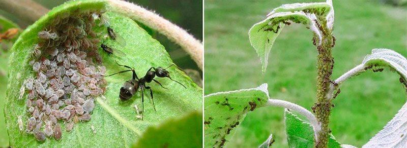 Манка и муравьи как она уничтожает