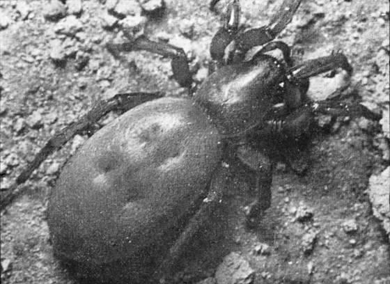 Майский жук: фото и описание