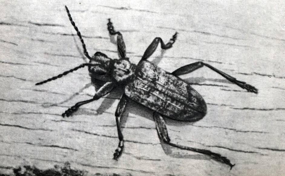 Водолюб большой – жук, который летает лучше, чем плавает