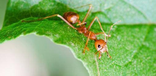 Народные средства для борьбы с муравьями