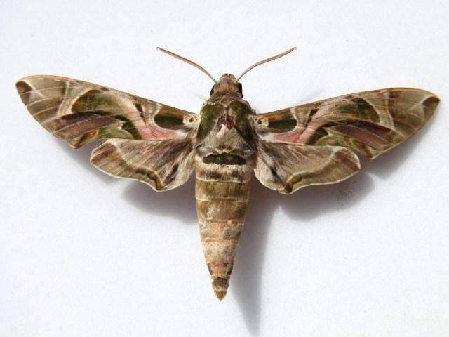 Самые огромные бабочки в мире. бражник тополевый – ночная бабочка, которая не ест