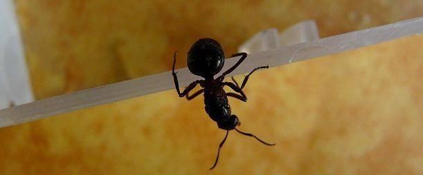 Маленькие домашние муравьи: эффективные методы уничтожения