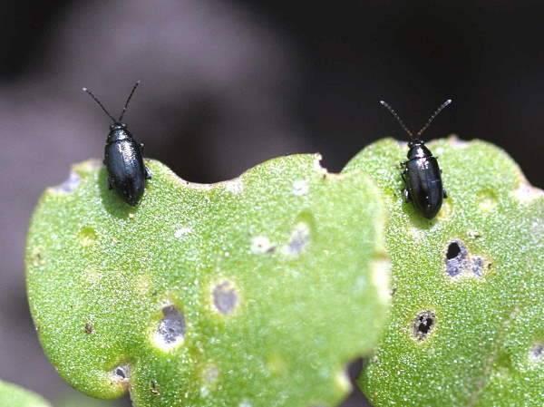 Крестоцветная блошка – опасный вредитель вашего урожая