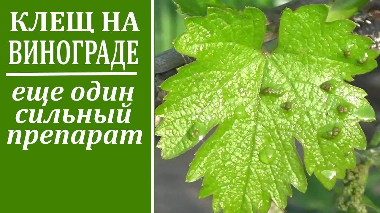 Как бороться с паутинным клещом на винограде: химические средства и народные методы