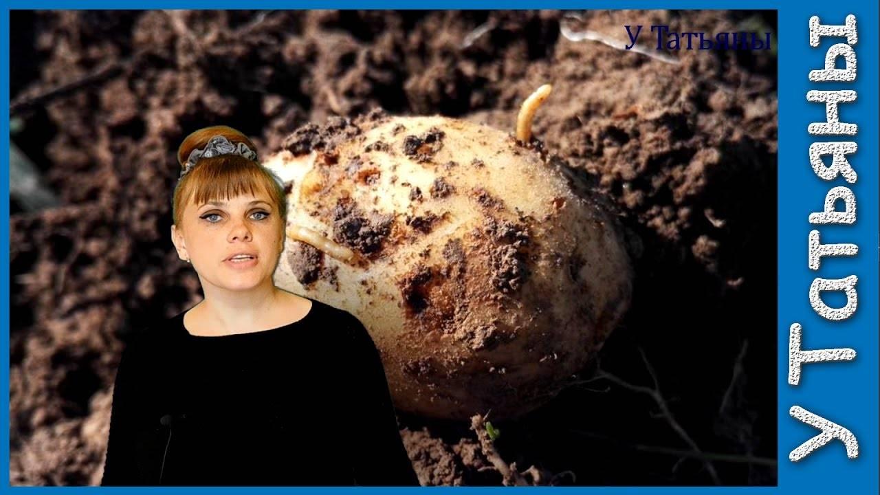 Вредитель картофеля – проволочник: методы борьбы