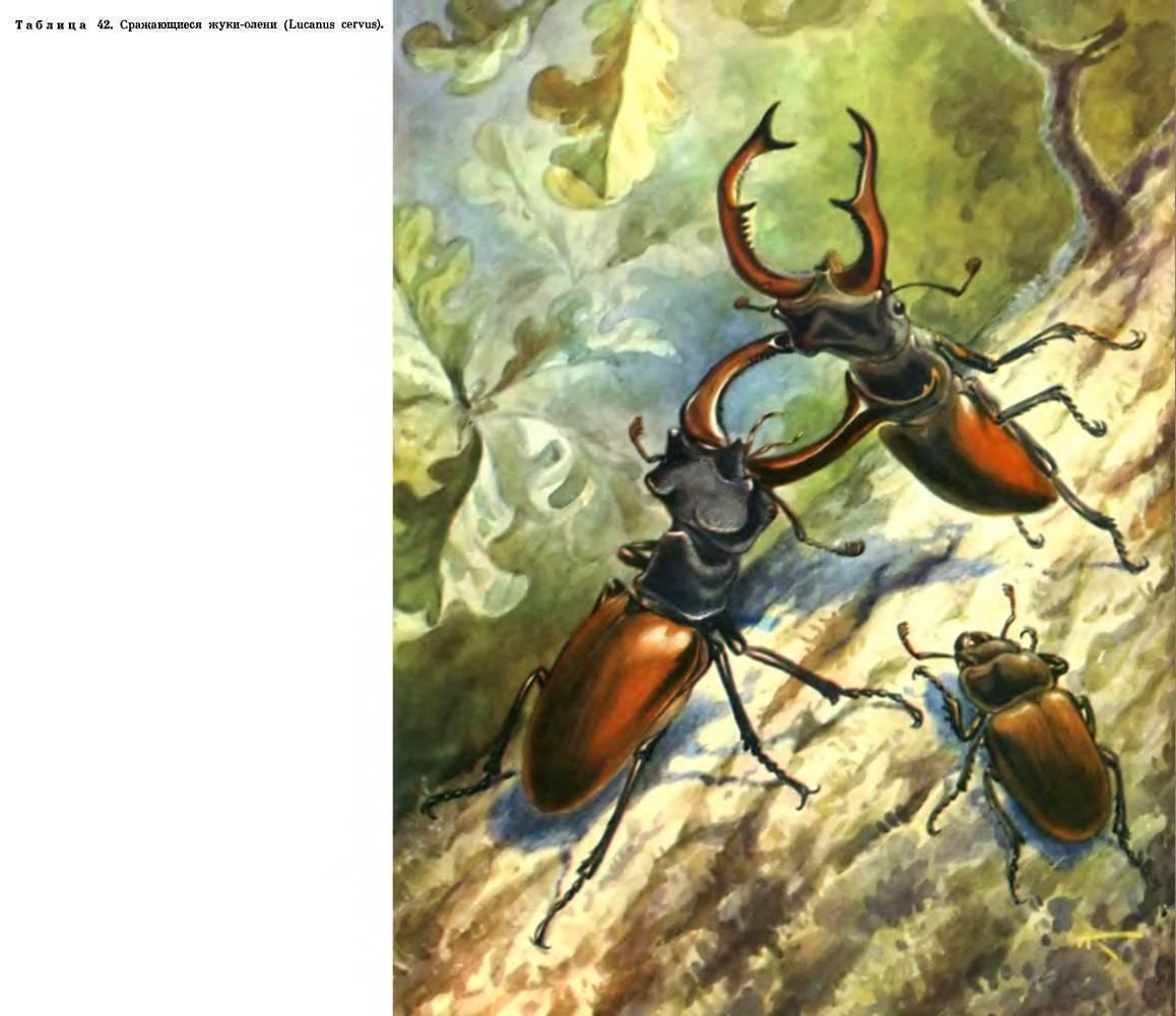 Рапсовый листоед – вредитель крестоцветных культур