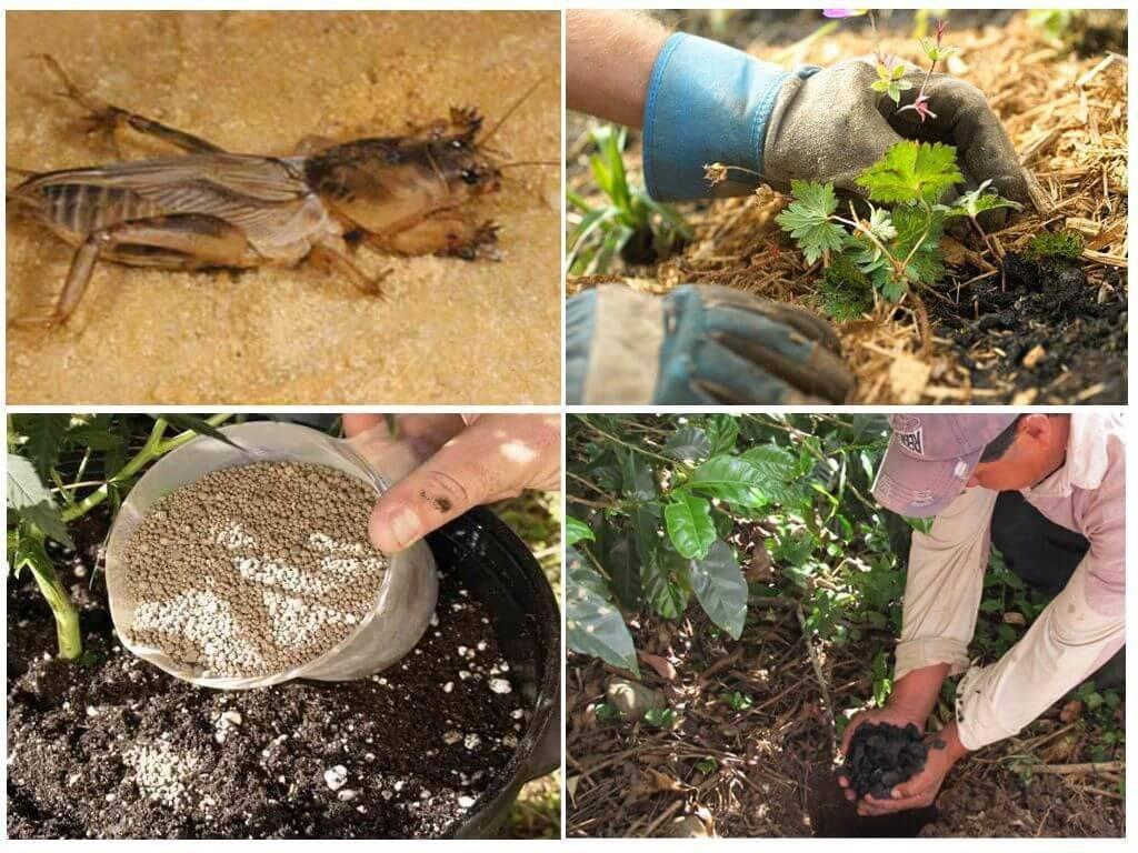 Как эффективно избавиться от медведки в огороде?