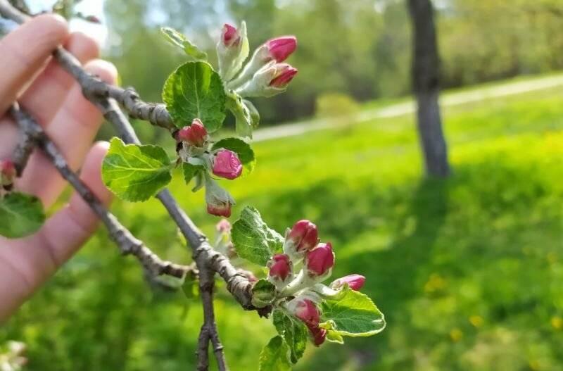 Эффективные мероприятия в случае, если появилась тля на яблоне, как бороться и чем, чтобы спасти свой сад